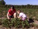 Sauvies Island Strawberries